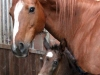 pferd11_gr