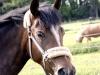 pferd1_gr