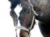 pferd3_gr