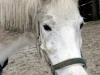 pferd8_gr